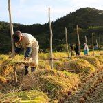 ササニシキ 棒がけの自然乾燥米を