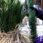 ササニシキの藁 歳神様を迎える門松に【京苑さんを訪ねて】