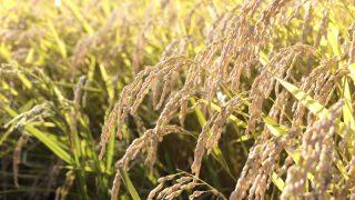 10月下旬 稲刈り 越河