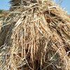 自然乾燥米の脱穀 大平