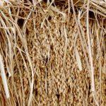 10月下旬 自然乾燥米の脱穀 大平