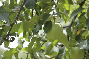 畦かえるsnap 果樹園 りんごの摘果作業