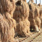 家族の心意気、実る秋 自然乾燥米第一弾 いよいよ出荷へ 白石・福岡