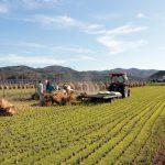 自然乾燥米の脱穀作業 大平