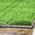 田植え繁忙期の育苗調査