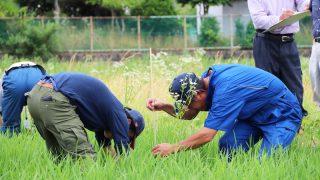 6月 全圃場の生育調査